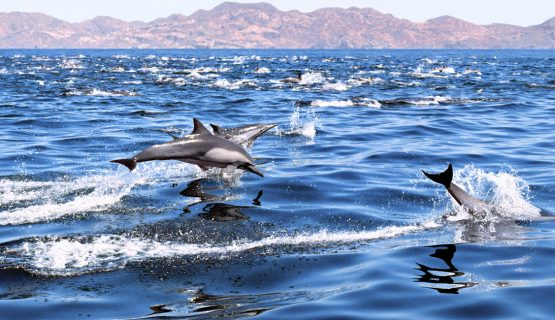 dolphins-swimming-gran-canaria-dolphin-trip